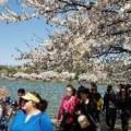 【ワシントンの桜祭り】中国や韓国「アジアの祭りに切り替えてはどうか?」日本大使館「桜祭りは日米友好」とアピール